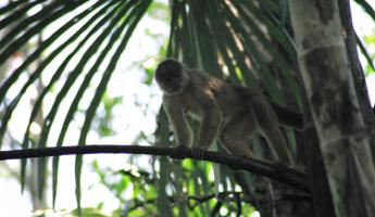 A curious monkey found during a wildlife tour of the Amazon