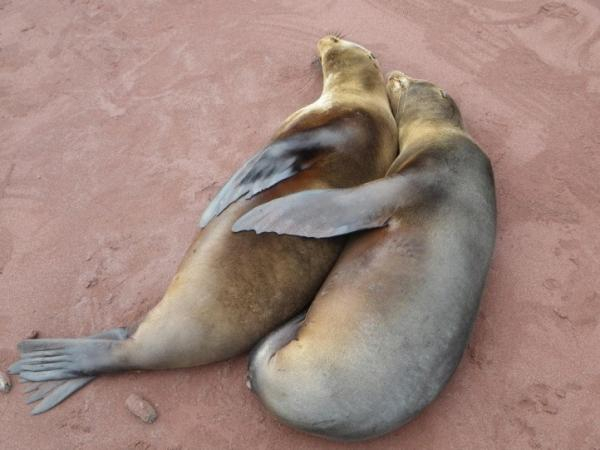 Rabida Island- Two sea lions on the beach