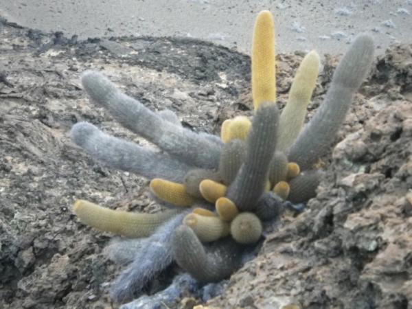 Rare cactus w/ different colors due to pH levels in ground