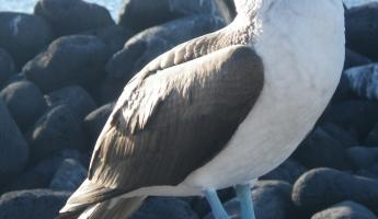 Lobos Islet- Blue-footed booby