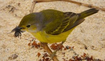 Floreana Island- Female warbler snacking on a fly