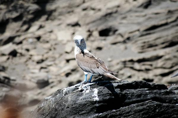Blue-footed Booby spotted while cruising the Galapagos