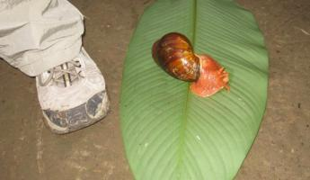 Snail (to scale)