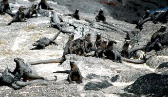 Group of iguanas on Fernandina island in the Galapagos