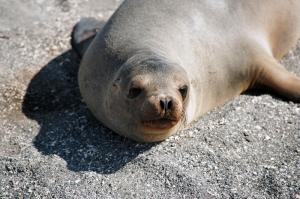 Sea lion relaxing on Fernandina Island in the Galapagos