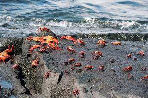 Group of Sally Lightfoot crabs headed for dry land in the Galapagos Islands
