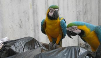 Macaws in the dumpster at Hotel El Auca