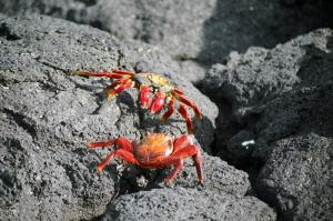 Sally light-foot crab in the Galapagos Islands