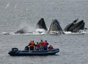 Humpback whales bubble-net feeding