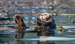 Up-close wildlife encounter with a sea otter