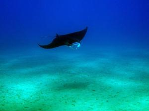 Have the opportunity to swim with Manta Rays