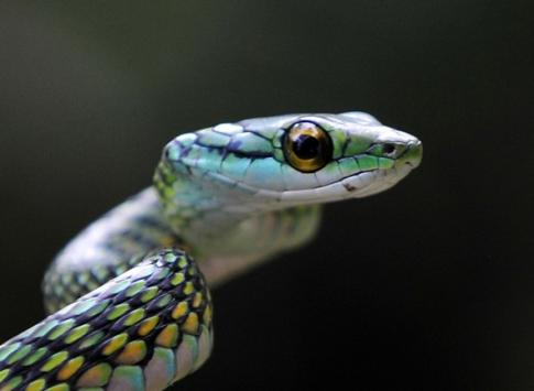 Green Vine Snake in the Amazon