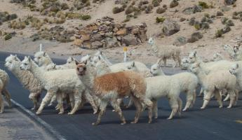 Caution...Llama Crossing!  High Plateau, Arequipa