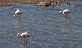 Andean Flamingos, Traveling to Puno