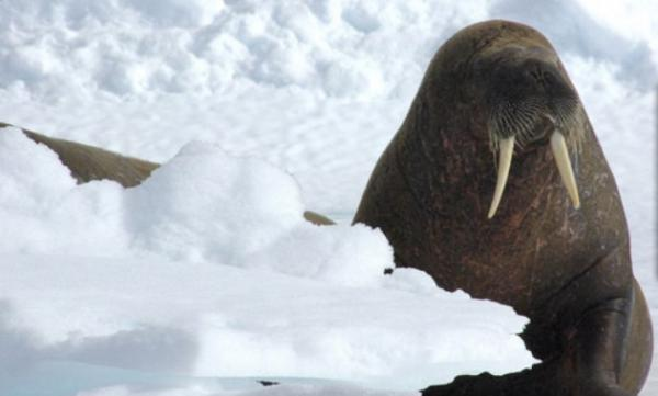 A walrus greets you