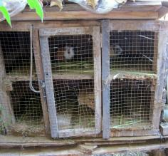 Cuy (guinea pigs) spotted in back of restaurant