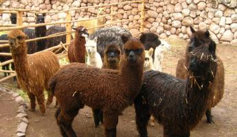 Llamas and alpacas!