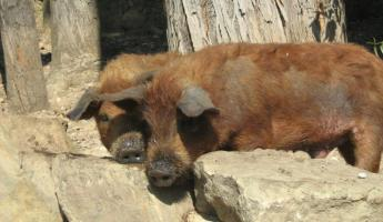 A pair of domestic pigs in Rurrenabaque, Bolivia