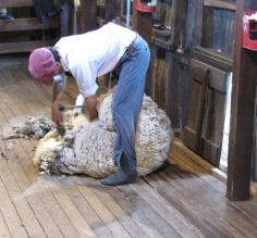 Sheering sheep in one piece in  less than 3 minutes