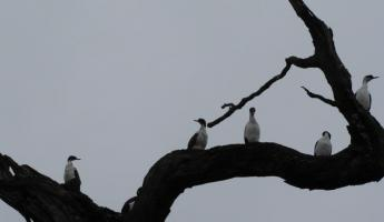 Cormorants on a tree