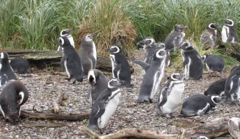 Magellan Penguins - can't get closer!