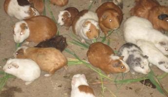 Guinea Pigs (Cuy in Spanish) - not pets - they are dinner!