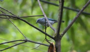 The Blue-gray tanager.