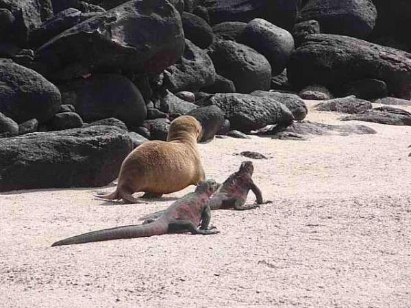 It's a race between the sea lion pup and iguanas