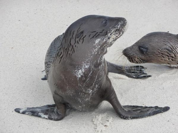 Sea lion pups in the Galapagos