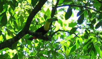 A Keel-billed Toucan