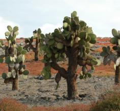 South Plaza Island cactus