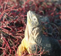 land iguana South Plaza