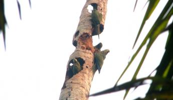Parrots- As Common In The Amazon As Pigeons Are to NYC