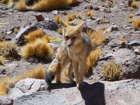 Altiplano Wildlife - fox