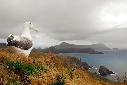 A Southern Royal Albatross takes in the view