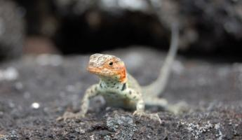a female lava lizard on Isabella. she came up to get her photo taken.
