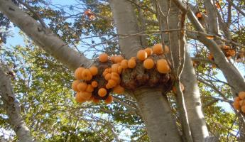 Fungus in tree, Tierra del Fuego National Park