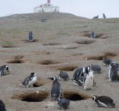 Some of the 70 thousand penguins pairs
