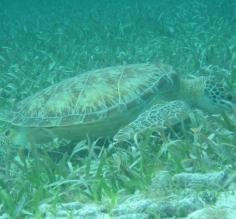 Swimming along with a sea turtle off Ambergris Caye