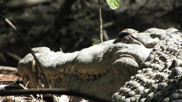 Close-up of an American crocodile basking in the sun at the Belize Zoo