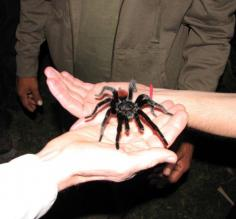 Holding a wild tarantula found during a guided night hike