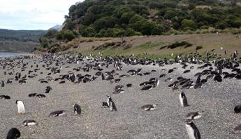 Penguin rookery Martillo Island in Beagle Channel