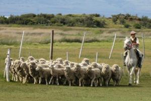 Herding Sheep - El Galpon