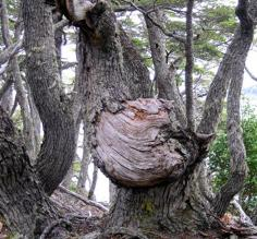 Gnarled Tree in TdF Natl Park
