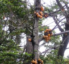 Tree Fungi in Tierra del Fuego