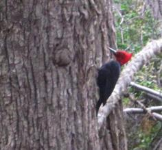 Woodpecker in TdF park