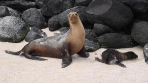 Galapagos sea lion and pup
