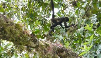 "Spider monkey...somtimes likes to ""rain\"" on the tourists"