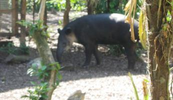 Tapir - Belize\'s national animal