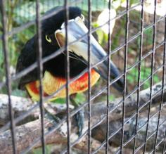"""Pops\"" the toucan"